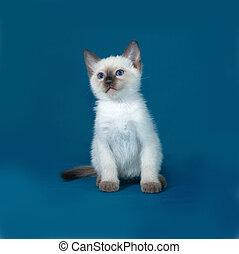 Thai white kitten sitting on blue