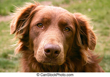 Golden Retriever chocolate lab crossbred dog used as a therapy dog exhibits compassion and caring for her clientele