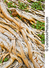 Roots of an old Tree tangles Together