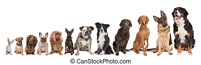 twelve dogs in a row. from small to large. on a white background