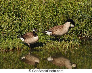 Two Canada geese pausing at a pond