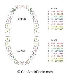 vector dental illustration, tooth chart, human teeth