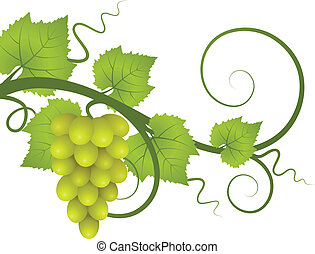 A vine with a bunch of grapes. Vector illustration.