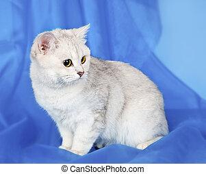 White kitten on blue background