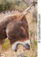 Yawning Wild Burro Donkey in Nevada Desert